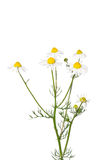 German chamomile (Matricaria chamomilla) Royalty Free Stock Photography