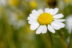 An isolated German chamomile flower in a field. stock image