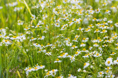 German chamomile wildflowers from close Stock Photography