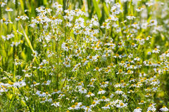 German chamomile wildflowers from close Stock Image