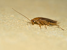 German cockroach, Blattella germanica on yellow wall, profile. M Royalty Free Stock Photo