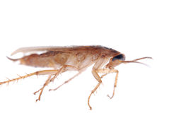 German cockroach isolated Royalty Free Stock Photography