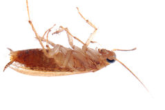 German cockroach isolated Royalty Free Stock Image
