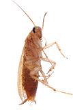 German cockroach isolated Stock Photo