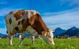 German Dairy Cattle In Field stock image