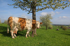 German dairy cow and blooming cherry tree Royalty Free Stock Image