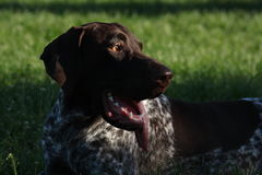 German (Deutsch) brac after a sprint. German Brac is a hunter dog, usually used for hunting of ducks, pheasants, quails Royalty Free Stock Image