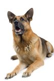 German dog Royalty Free Stock Image