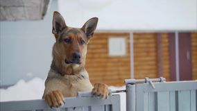 German dog with a funny facial expression. Funny muzzle in the German Shepherd. German shepherd stands on its hind legs stock footage