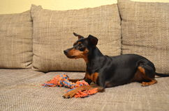 German miniature pinscher pet dog on a sofa with its toy. German dwarf pinscher pet dog on a sofa with its toy Royalty Free Stock Images