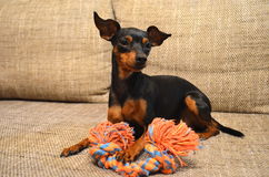 German miniature pinscher pet dog on a sofa with its toy. German dwarf pinscher pet dog on a sofa with its toy Royalty Free Stock Photos