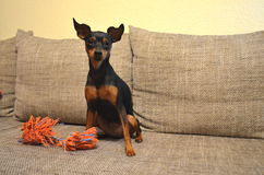 German miniature pinscher pet dog on a sofa with its toy. German dwarf pinscher pet dog on a sofa with its toy Stock Images