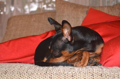 German miniature pinscher pet dog on a sofa with its toy. German dwarf pinscher pet dog on a sofa with its toy Royalty Free Stock Photography