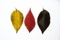 German flag leaf. Deutsch flahnenblatt.  Royalty Free Stock Photography