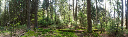 german forest high definition panorama Stock Photography