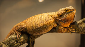 German Giant Bearded Dragon. Stock Images