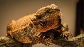German Giant Bearded Dragon. Stock Image