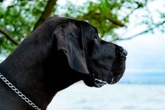 German Great Dane. A young, energetic German Great Dane walks on the beach after a storm. The obedient pet executes commands of the owner. Harmony in stock photo