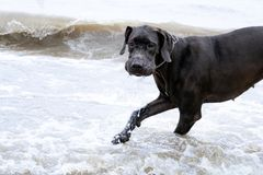 German Great Dane. A young, energetic German Great Dane walks on the beach after a storm. The obedient pet executes commands of the owner. Harmony in royalty free stock photography