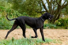 German Great Dane. A young, energetic German Great Dane walks on the beach after a storm. The obedient pet executes commands of the owner. Harmony in royalty free stock photos