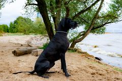 German Great Dane. A young, energetic German Great Dane walks on the beach after a storm. The obedient pet executes commands of the owner. Harmony in royalty free stock image