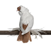 German helmet with feathered feet pigeon. Perched on wood in front of white background Stock Image