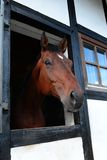 German horse. A german horse race hanoverian in stable Royalty Free Stock Images