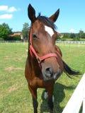 German Horse Stock Photography