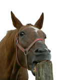 German Horse Royalty Free Stock Photography