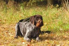 German hunting dog Royalty Free Stock Image