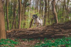 German hunting dog jumping over a tree in the colorful spring scenery stock images