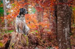 German hunting dog posing in the colorful fall scenery royalty free stock photo