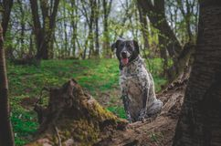 German hunting dog posing in the colorful spring scenery royalty free stock images