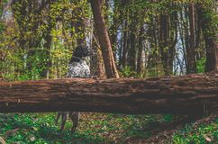 German hunting dog posing in the colorful spring scenery royalty free stock photography