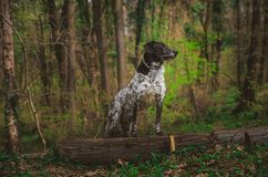 German hunting dog posing in the colorful spring scenery stock images