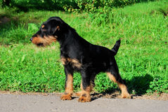 German hunting terrier. Black and tan, standing on the grass Royalty Free Stock Image