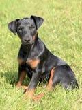 German Hunting Terrier Stock Photos