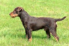 German Hunting Terrier Royalty Free Stock Photo
