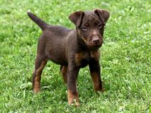 German Hunting Terrier puppy Stock Photo