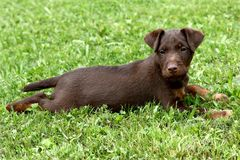 German Hunting Terrier puppy Stock Image