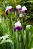 German iris in full bloom in the rain Royalty Free Stock Photography