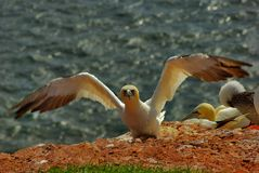 German island Helgoland -  northern gannets Stock Image