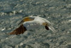German island Helgoland -  northern gannets Stock Photography