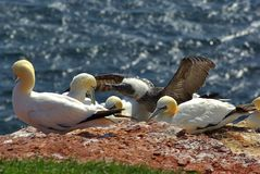 German island Helgoland -  northern gannets Royalty Free Stock Image