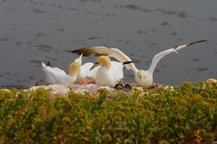 German island Helgoland -  northern gannets Royalty Free Stock Photography