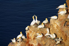 German island Helgoland -  northern gannets Royalty Free Stock Photo