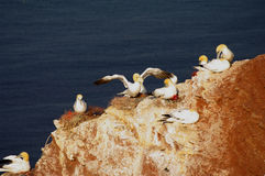 German island Helgoland -  northern gannets. Helgoland - German island in the North sea Royalty Free Stock Image