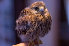 German kestrel bird sits on a hand. A german kestrel bird sits on a hand Royalty Free Stock Images