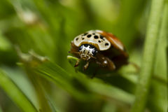 German Ladybug on grass. A Ladybug / Ladybird clinging to some grass looking into the camera Stock Images