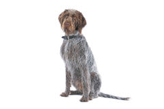 German Long haired Pointer  Royalty Free Stock Images
